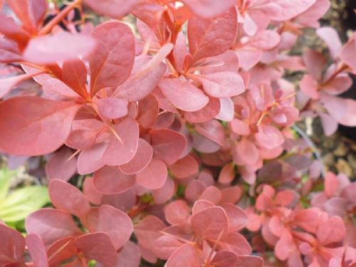 Berberis thunbergii Red Pillar 3 Litre